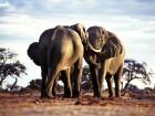Éléphants wallpaper 1