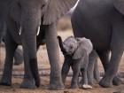 Éléphants wallpaper 2