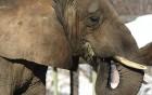 Éléphants wallpaper 4