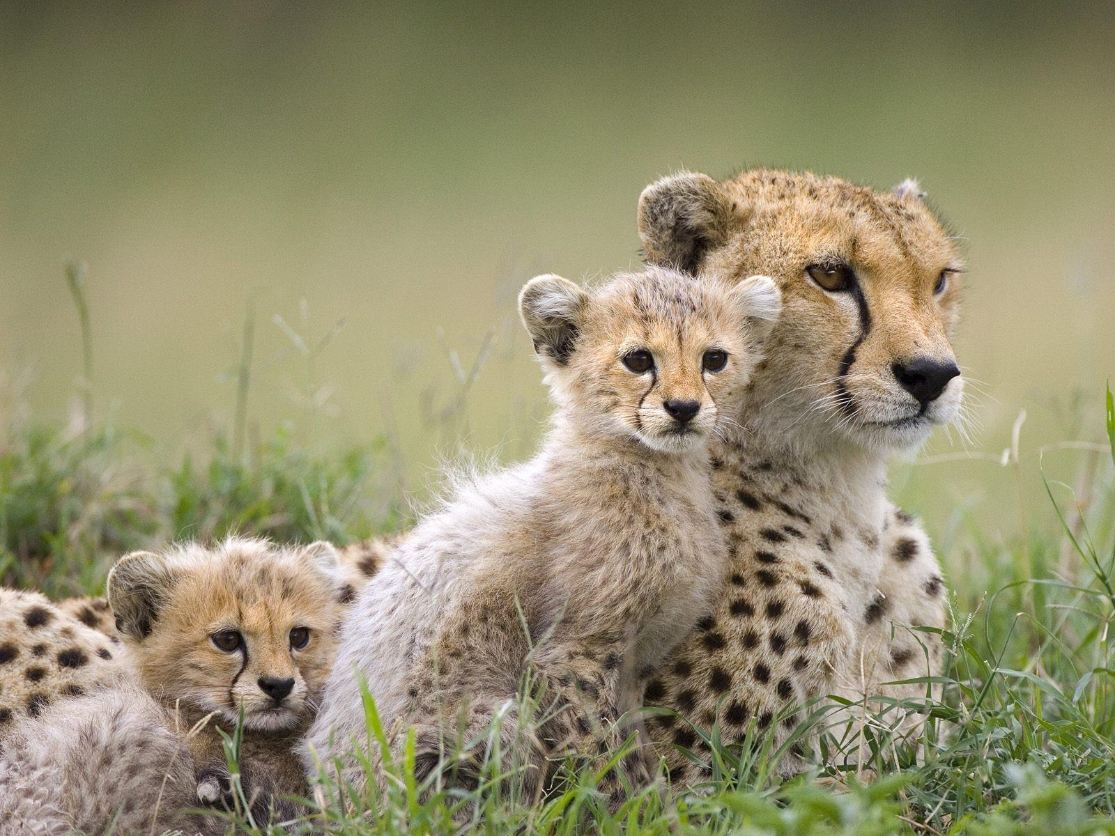 Gu pards wallpaper 2 animaux wallpapers directory - Animaux wallpaper ...