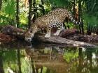 Jaguars wallpaper 1