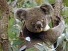 Koalas wallpaper 1