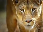 Lions wallpaper 1