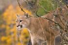 Lions wallpaper 2