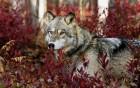 Loups wallpaper 1