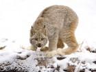 Lynx wallpaper 1