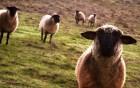 Moutons wallpaper 1