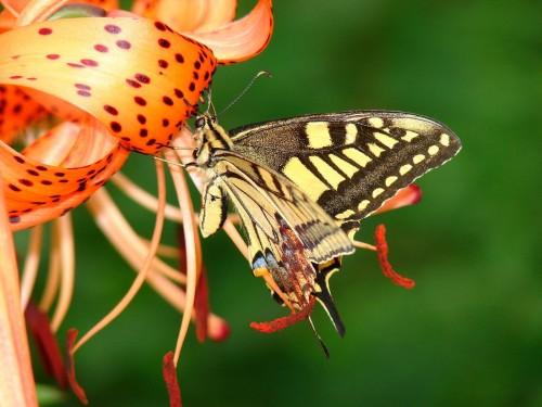 Papillons wallpaper 1