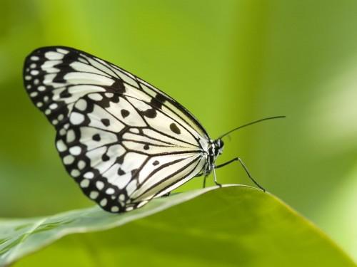 Papillons wallpaper 2