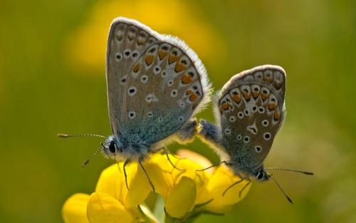 Papillons wallpaper 9
