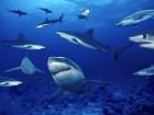 Requins wallpaper 1