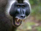 Singes wallpaper 1
