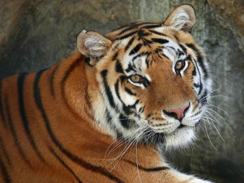 Tigres wallpaper 2