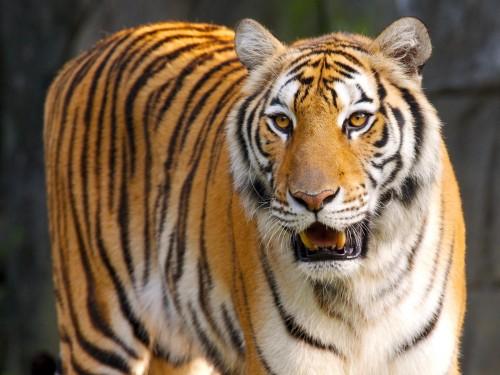 Tigres wallpaper 3
