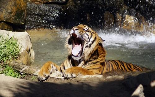 Tigres wallpaper 4