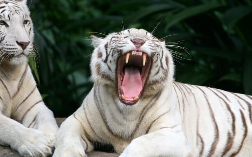 Tigres wallpaper 6