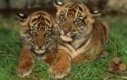 Tigres wallpaper 1