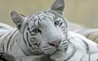Tigres wallpaper 5