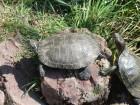 Une tortue qui prend le soleil sur un caillou