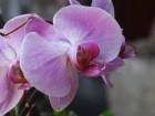 Une orchidée au réveil