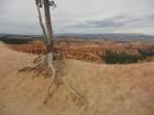 Un arbre qui surplombe l'amphithéâtre naturel de Bryce Canyon