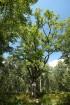 Le chêne des Grès dans la forêt de Pontarmé
